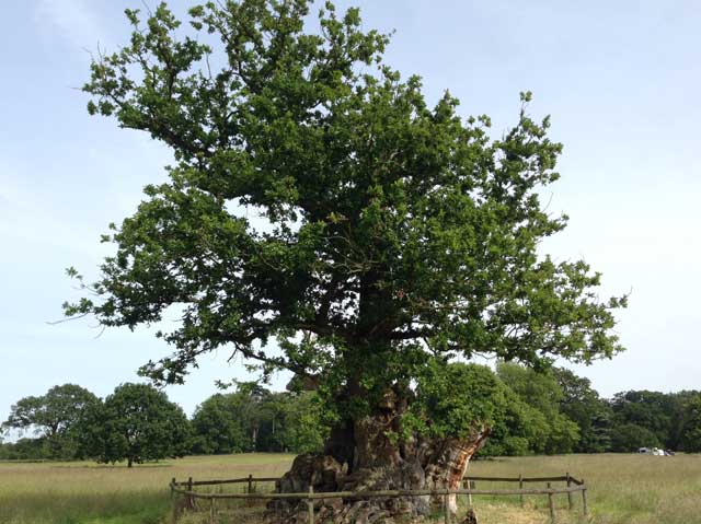 The Tea Party Oak, Ickworth Park