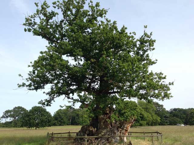 The Tea Party Oak, Ickworth Park
